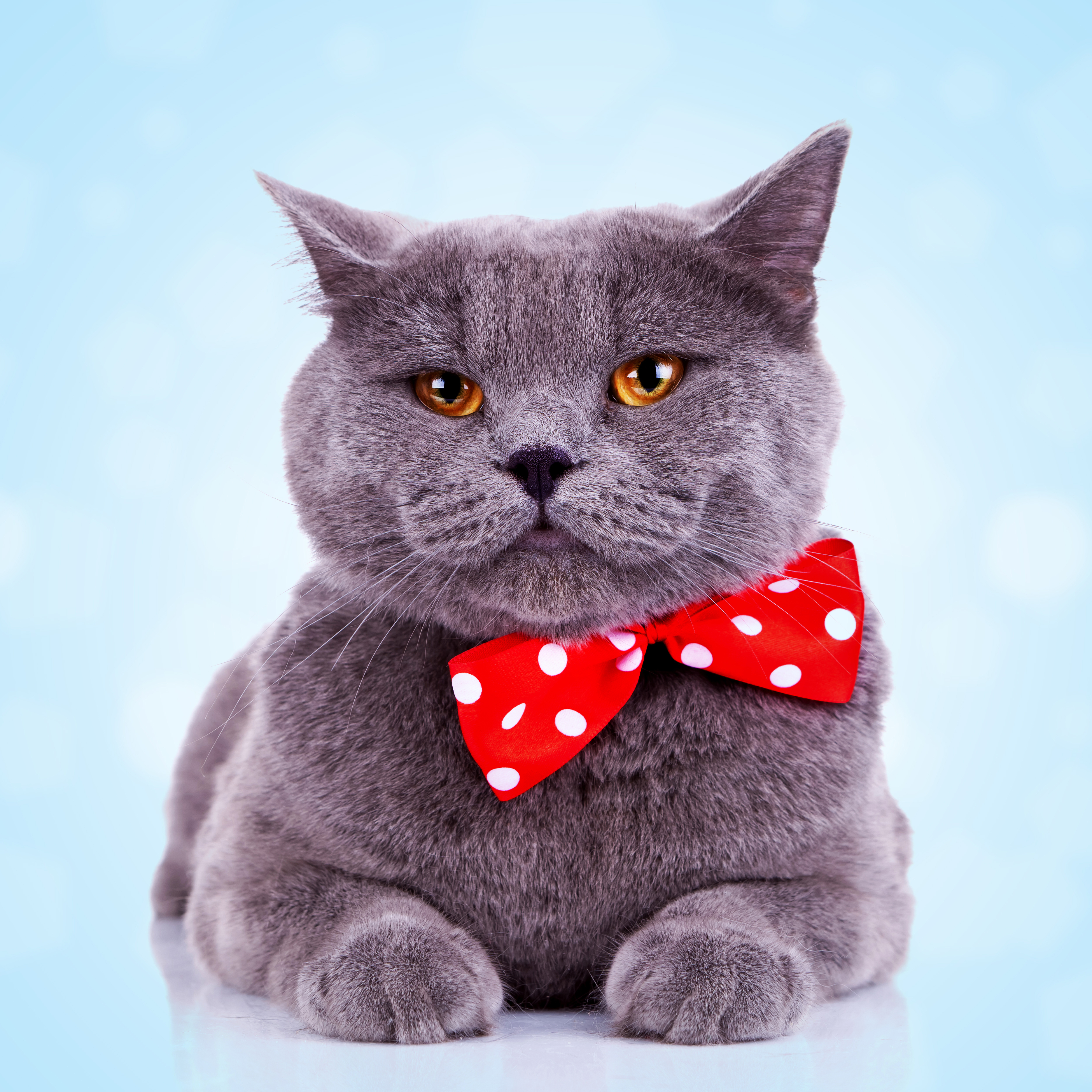 cat with tie